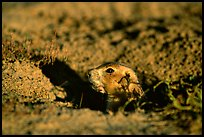 Prairie dog peeking out from burrow, sunset. Badlands National Park, South Dakota, USA. (color)