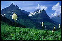 View from Big Bend with beargrass, Mt Oberlin and Cannon Mountain. Glacier National Park ( color)