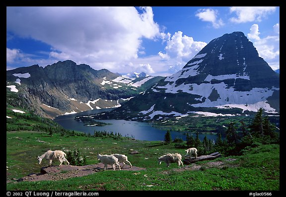 Mountain goats, Hidden lake and peak. Glacier National Park (color)