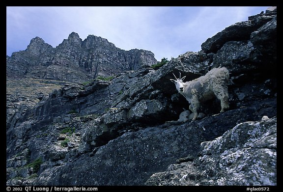 Mountain goat and Garden wall near Logan pass. Glacier National Park (color)
