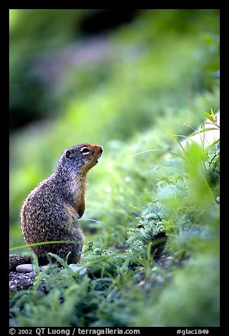 Ground squirrel. Glacier National Park (color)