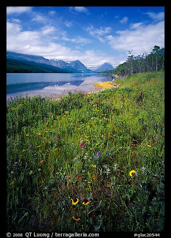 Wildflowers and Sherburne Lake, morning. Glacier National Park (color)