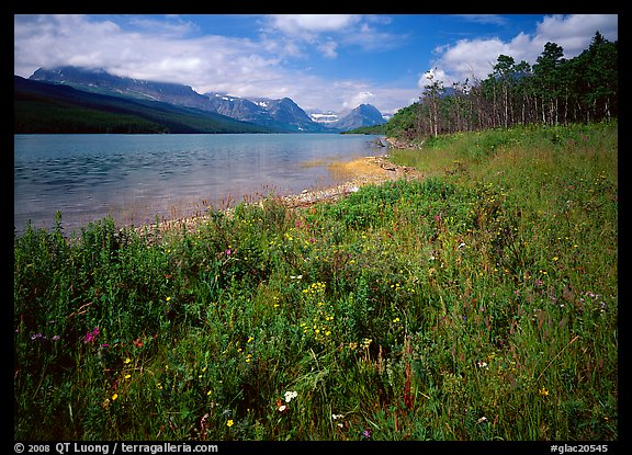 Wildflowers on shore of Sherburne Lake. Glacier National Park (color)