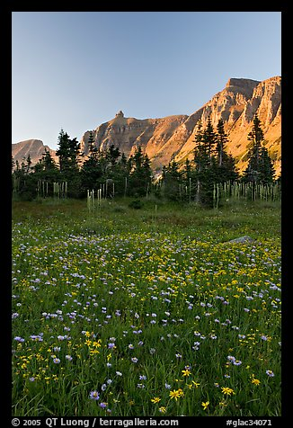 Wildflowers in meadow below the Garden Wall at sunset. Glacier National Park (color)