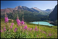 Fireweed and Grinnell Lake. Glacier National Park, Montana, USA. (color)