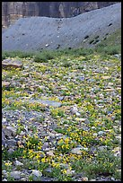 Alpine wildflowers. Glacier National Park ( color)