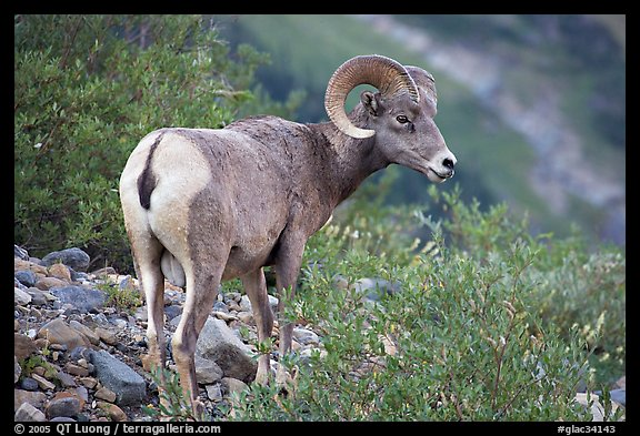 Bighorn sheep. Glacier National Park (color)