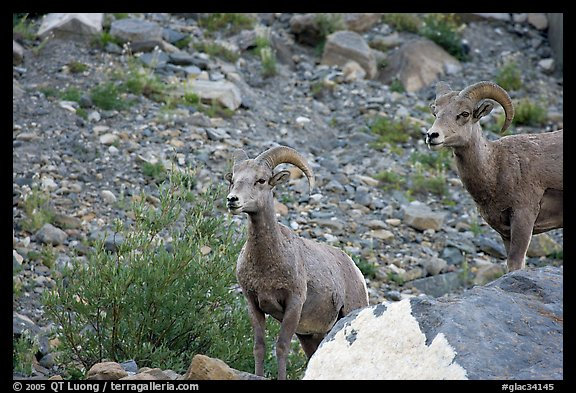 Two bighorn sheep. Glacier National Park (color)