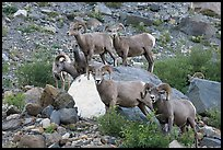 Group of bighorn sheep. Glacier National Park, Montana, USA. (color)