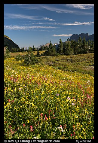 Wildflower meadow, Logan Pass, early morning. Glacier National Park (color)
