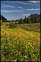 Wildflower meadow, Logan Pass, early morning. Glacier National Park, Montana, USA. (color)