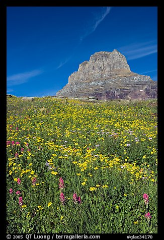 Carpet of alpine flowers and Clemens Mountain, Logan Pass. Glacier National Park, Montana, USA.