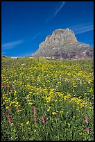 Carpet of alpine flowers and Clemens Mountain, Logan Pass. Glacier National Park, Montana, USA. (color)