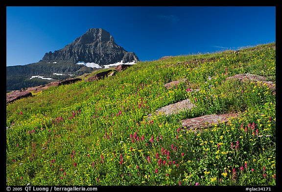 Alpine wildflowers and Reynolds Mountain, Logan Pass, morning. Glacier National Park, Montana, USA.