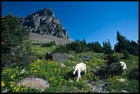 Mountain goats in wildflower meadow below Clemens Mountain, Logan Pass. Glacier National Park, Montana, USA.