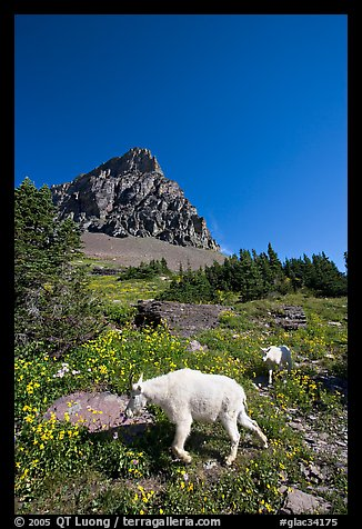 Mountain goat and cub in a meadown below Clemens Mountain, Logan Pass. Glacier National Park (color)