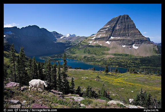 Hidden Lake, Bearhat Mountain, and mountain goat. Glacier National Park (color)
