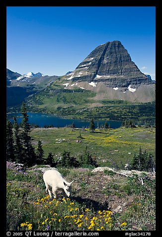 Young mountain goat, with Hidden Lake and Bearhat Mountain in the background. Glacier National Park (color)