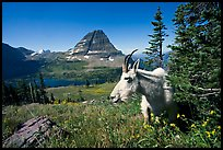 Mountain goat, Hidden Lake and Bearhat Mountain behind. Glacier National Park, Montana, USA.