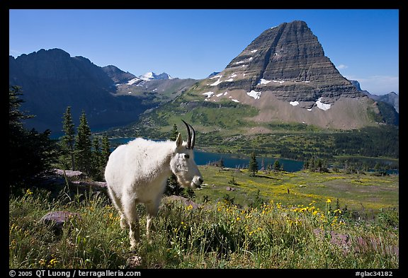 Mountain goat, Hidden Lake and Bearhat Mountain. Glacier National Park (color)