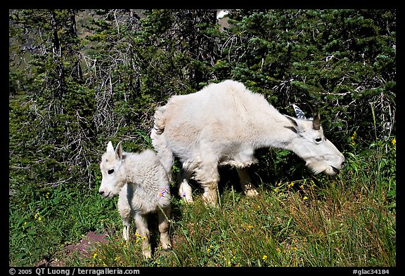 Mountain goat and kid. Glacier National Park (color)
