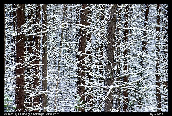 Snowy trees in winter. Glacier National Park (color)