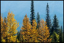 Trees in autumn foliage and firs. Glacier National Park ( color)