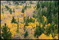 Deciduous trees and conifers in autumn. Glacier National Park ( color)