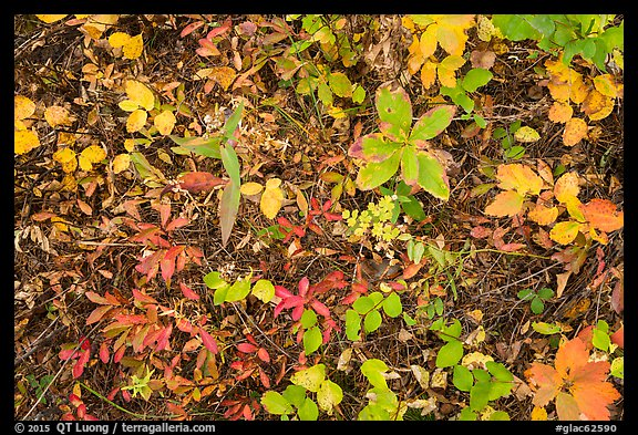 Close-up of forest floor with colorful shurbs in autumn. Glacier National Park, Montana, USA.