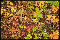 Close-up of forest floor with colorful shurbs in autumn. Glacier National Park ( color)