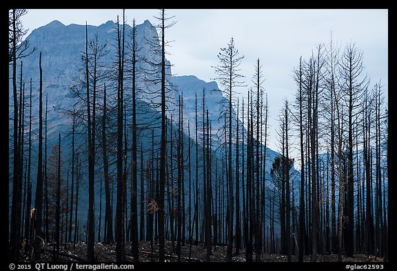 Burned forest from 2015 wildfire and peaks. Glacier National Park (color)