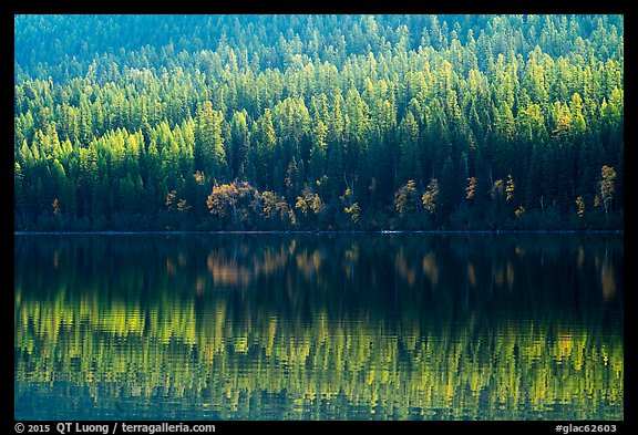 Conifer forest with autumn color accents and reflection, Bowman Lake. Glacier National Park (color)
