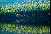 Conifer forest with autumn color accents and reflection, Bowman Lake. Glacier National Park ( color)