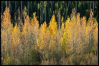 Aspen in autumn foliage, North Fork. Glacier National Park ( color)