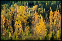 Leaves of aspen in autum foliage glow in backlight, North Fork. Glacier National Park ( color)