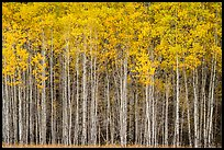 Dense aspen grove autumn, North Fork. Glacier National Park ( color)