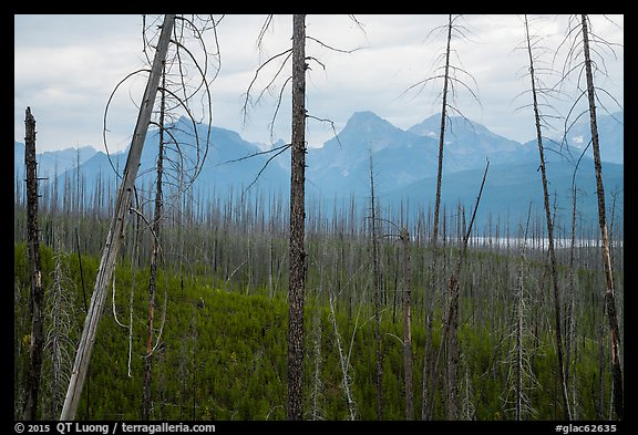 Recovering burned forest from 2007 wildfire. Glacier National Park (color)