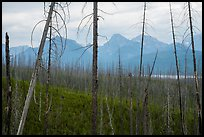 Recovering burned forest from 2007 wildfire. Glacier National Park ( color)