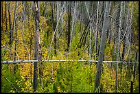 New growth alongs trees burned by 2007 wildfire. Glacier National Park ( color)