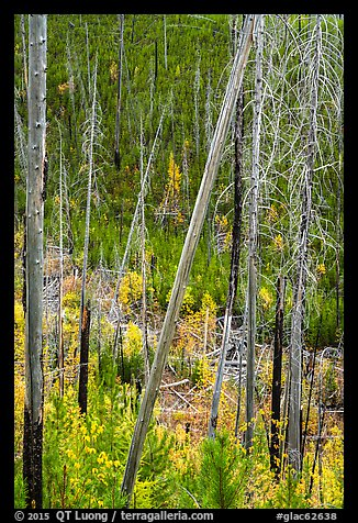 Burned trees and new growth in autumn. Glacier National Park (color)