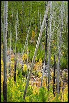 Burned trees and new growth in autumn. Glacier National Park ( color)