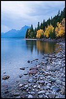 Lake McDonald lakeshore at dusk with autum foliage. Glacier National Park ( color)