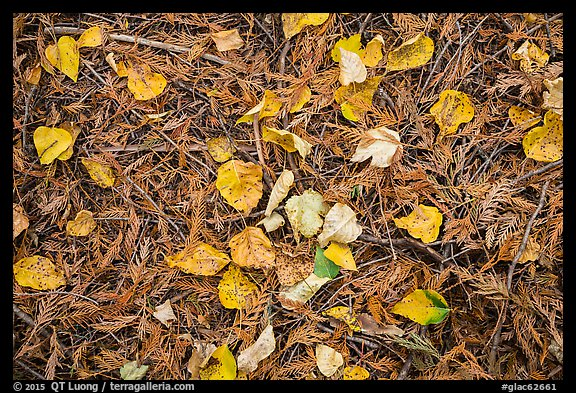 Close-up of forest floor with fallen leaves in autumn. Glacier National Park (color)