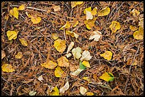 Close-up of forest floor with fallen leaves in autumn. Glacier National Park, Montana, USA.