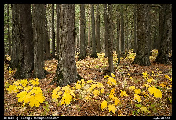 Old-growth forest with large leaves on floor in autumn. Glacier National Park (color)