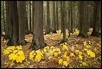 Old-growth forest with large leaves on floor in autumn. Glacier National Park ( color)