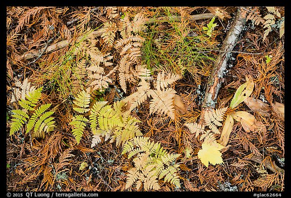 Close-up of ferns and fallen leaves in autumn. Glacier National Park (color)