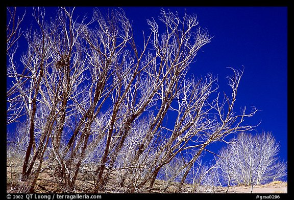 Ghost forest: squeletons of trees engulfed by the sands. Great Sand Dunes National Park and Preserve (color)