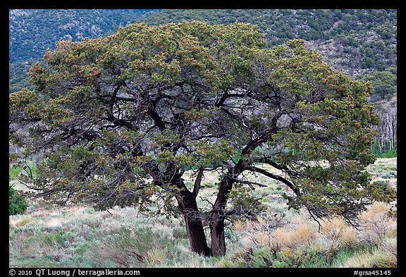Pinyon pine tree. Great Sand Dunes National Park and Preserve (color)