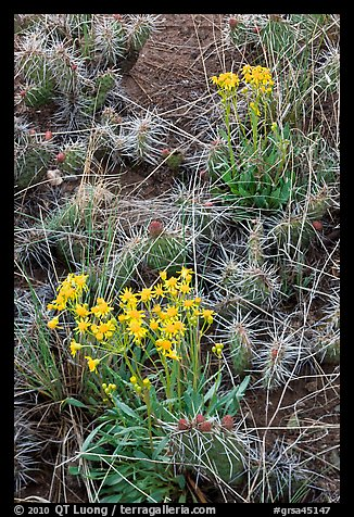 Yellow flowers and cactus. Great Sand Dunes National Park and Preserve (color)